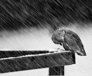 bird in rain bird in storm
